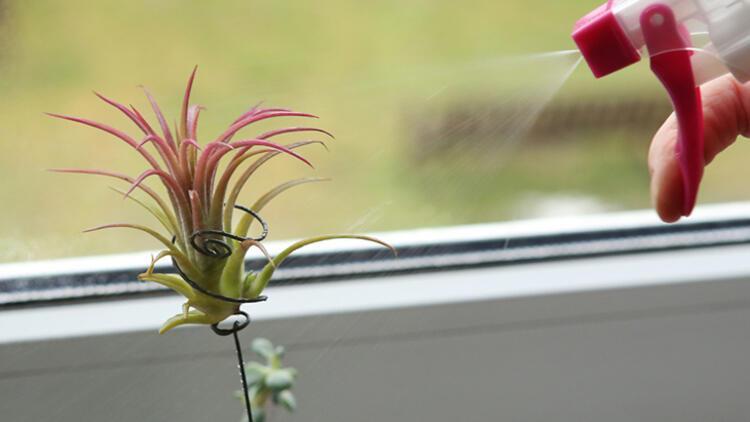 1-Tillandsia (Hava çiçeği)Nereye koymalı:
