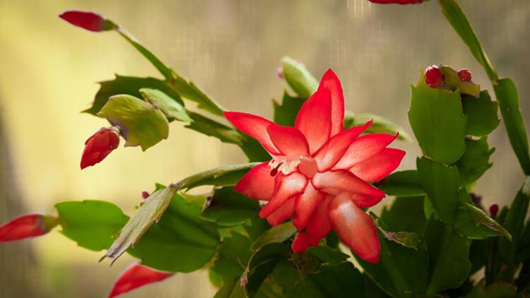 3-Yılbaşı çiçeğiNereye koymalı: